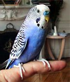 Pittwater Animal Hospital - Budgies